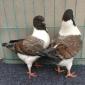 观赏鸽毛领、凤尾、淑女、秀、两头乌、两头红、大鼻子,鸽子活体